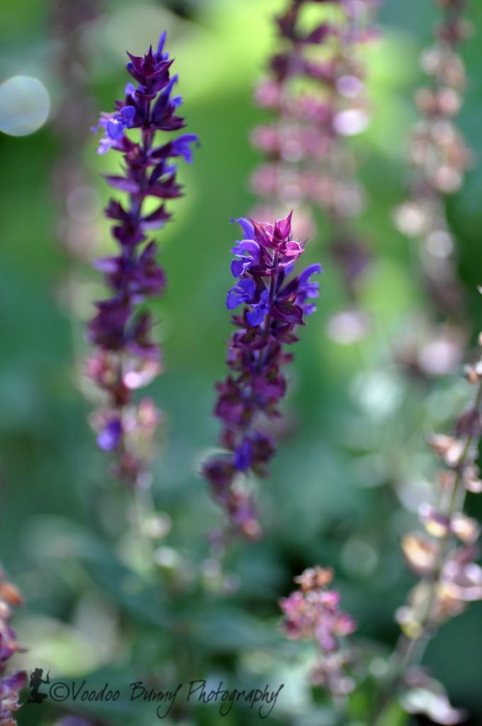 lila-blommor-2